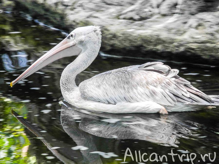 Пеликан в парке птиц в Куала-Лумпур