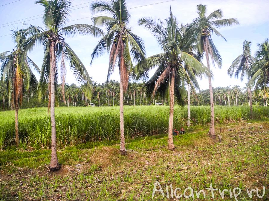Пальмовая роща на Себу
