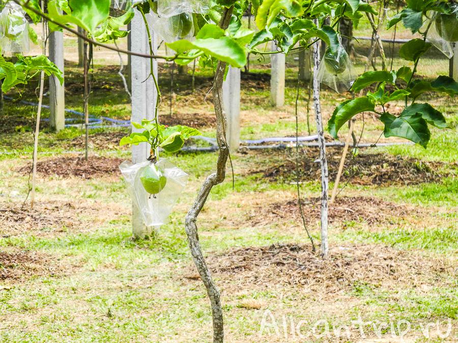 Как растет маракуйя