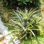 Ферма тропических фруктов на о.Пенанг