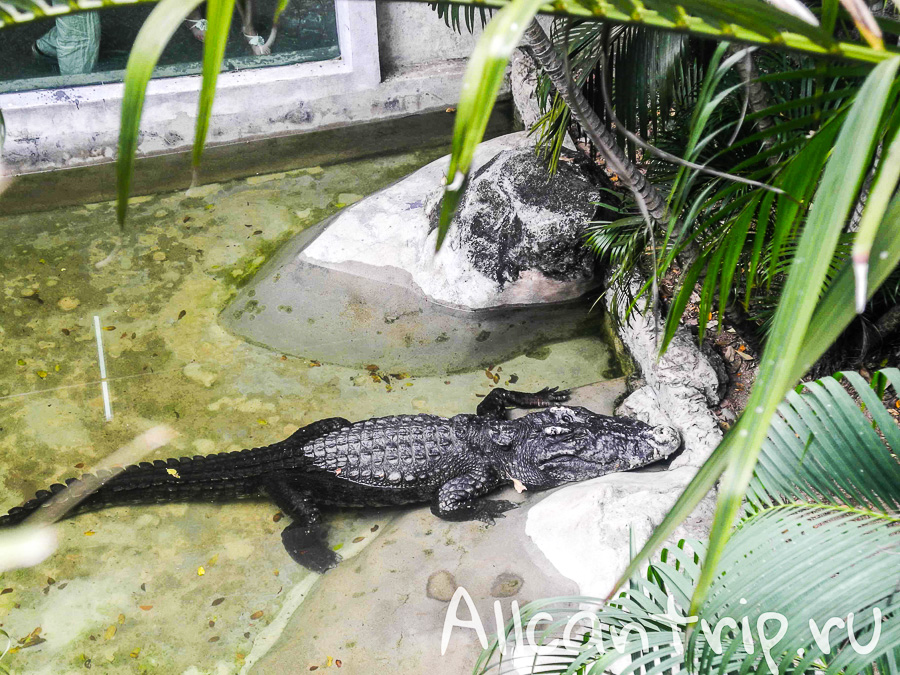 Крокодил В зоопарке Бангкока Dusit Zoo