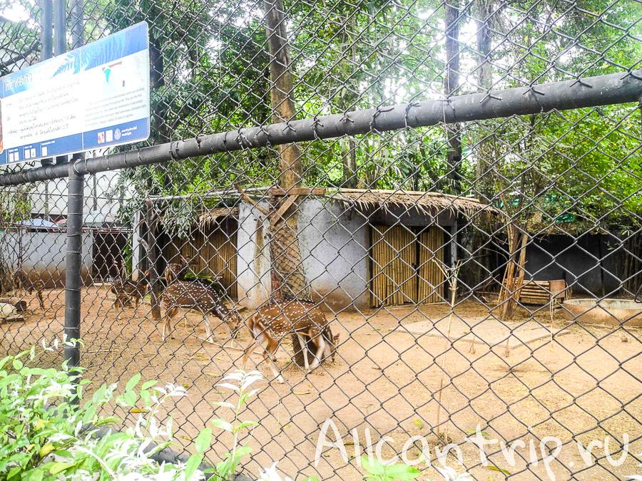 Олени В зоопарке Бангкока Dusit Zoo
