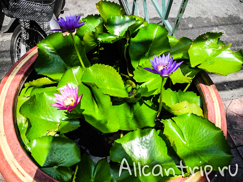 Цветение лотоса в Бангкоке