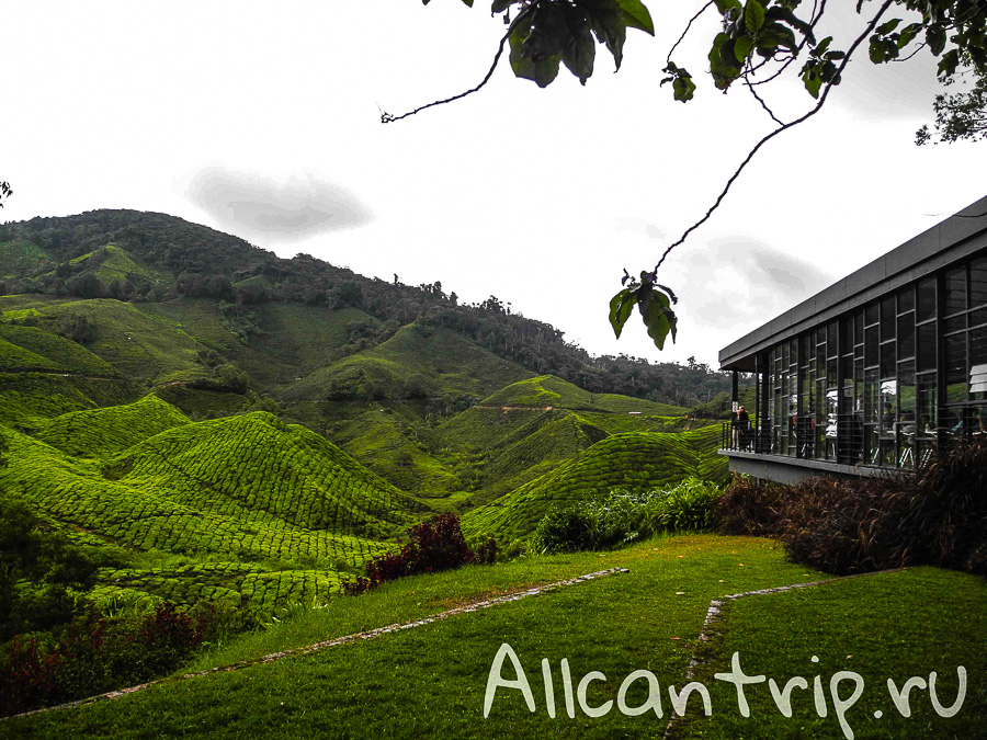 Чайные плантации Малайзии Cameron highlands