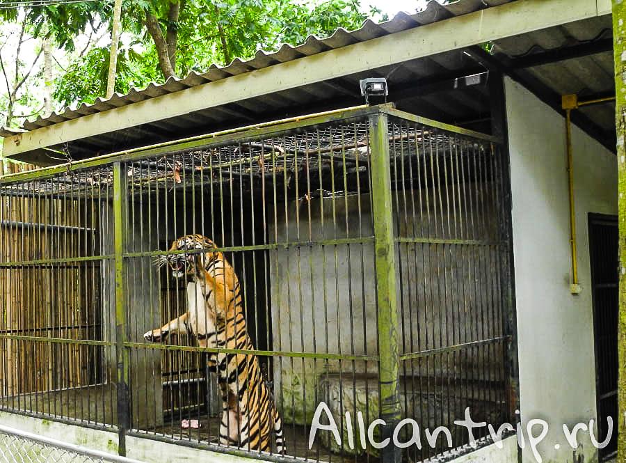 Тигры на Самуи