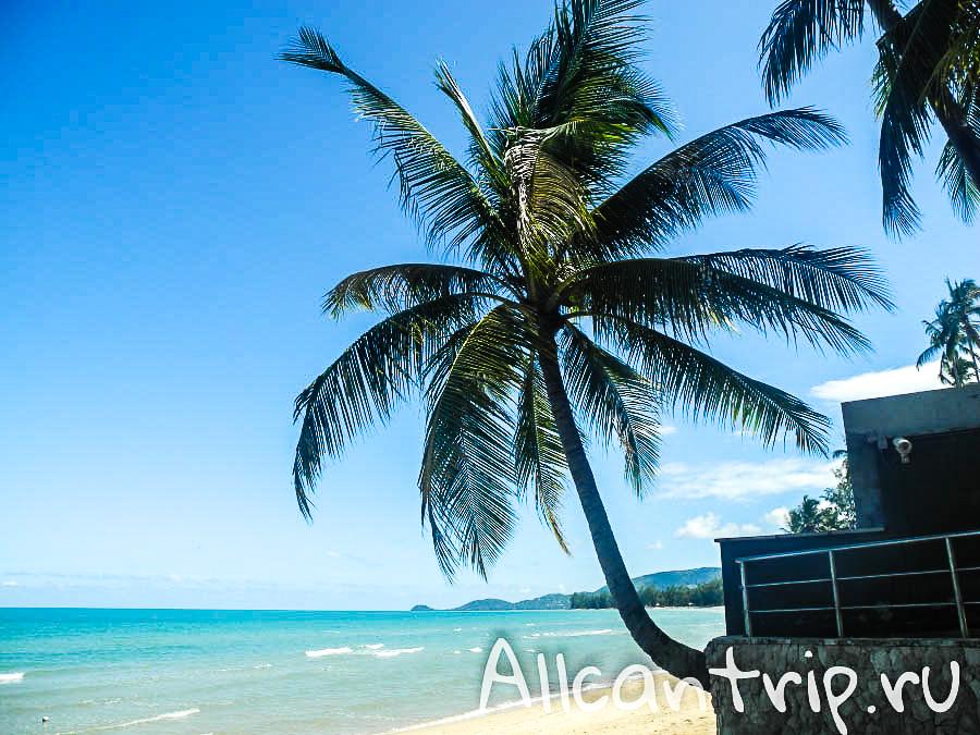 Пальма на пляже Самуи Липа Ной