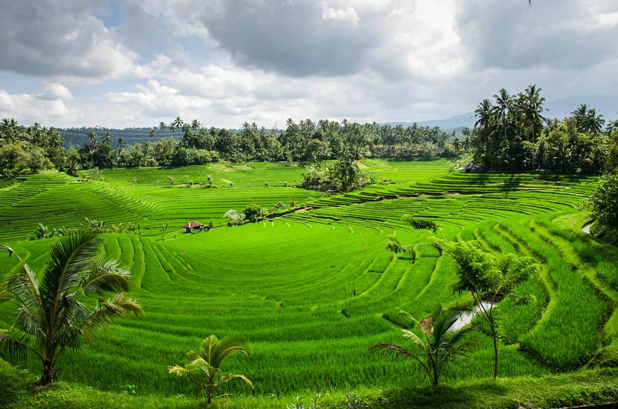 Знаменитые рисовые террасы Бали