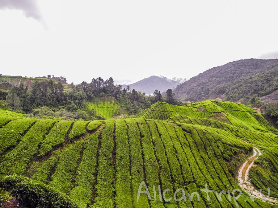 потрясающие виды на чайные плантации