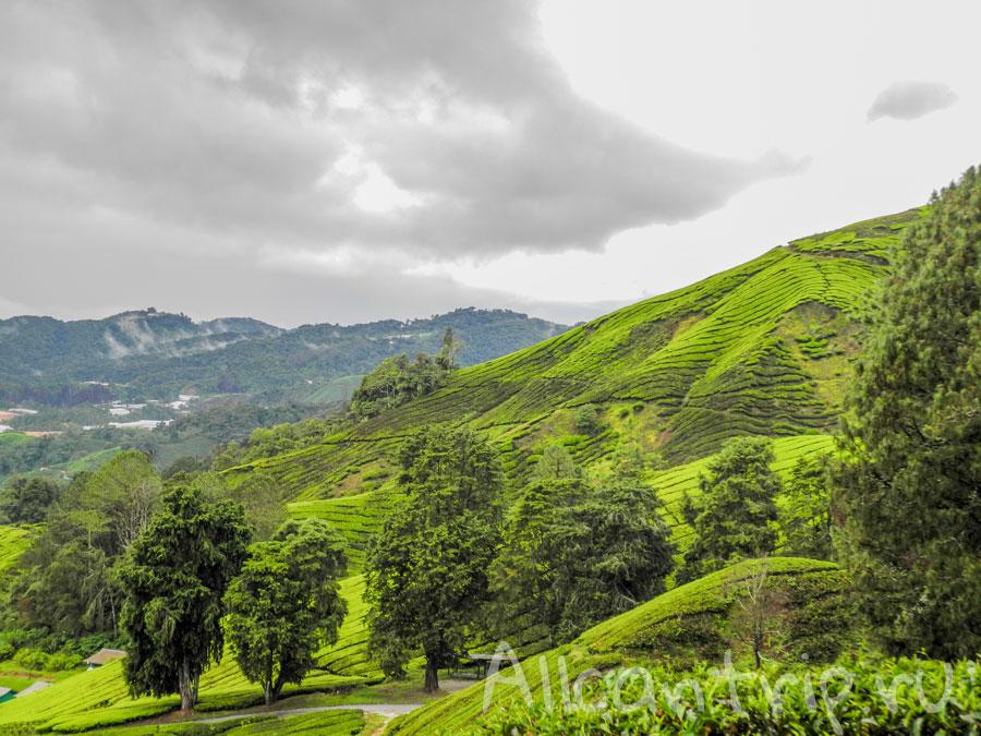 потрясающие виды на чайные плантации в малайских горах