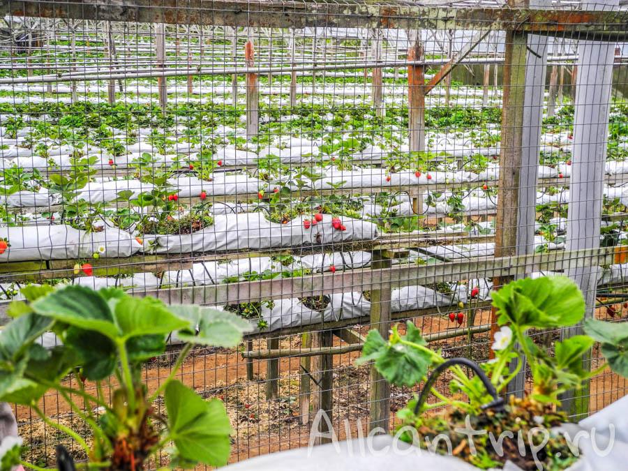 Клубничная ферма в Cameron Highlands