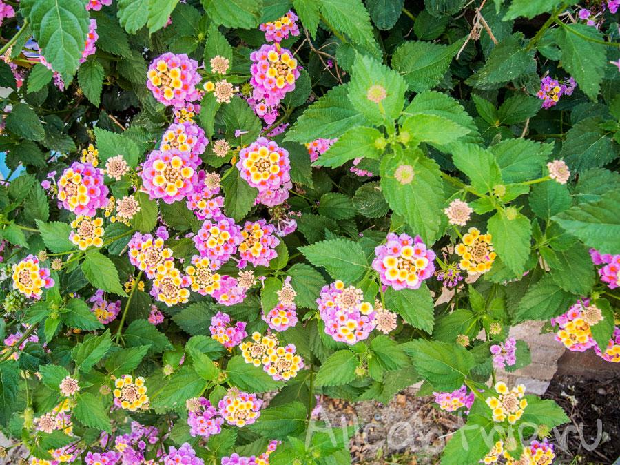 цветы алании