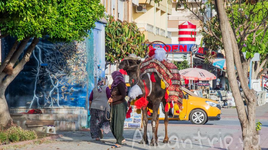 верблюды в алании