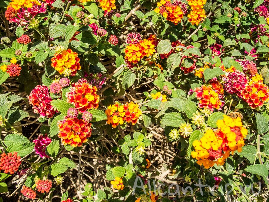 цветы алании Турция