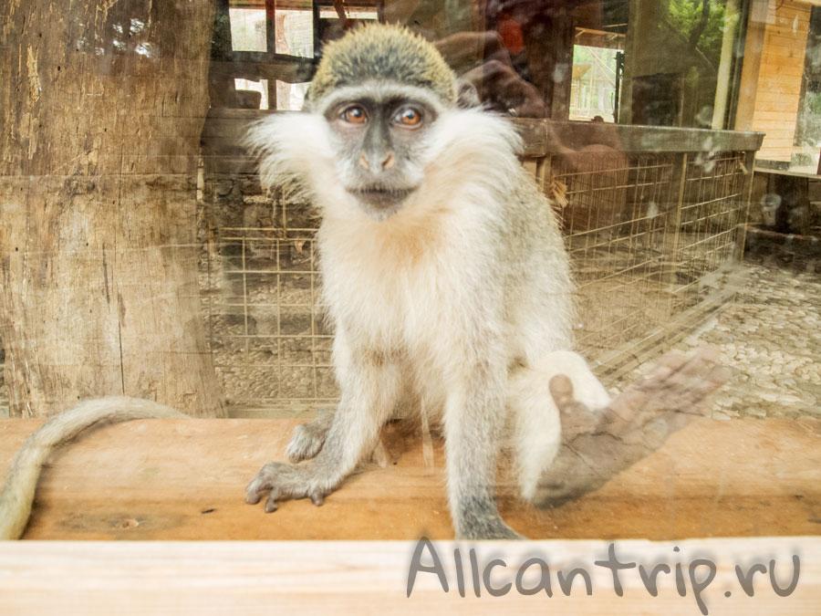 обезьяна в зоопарке Анталии