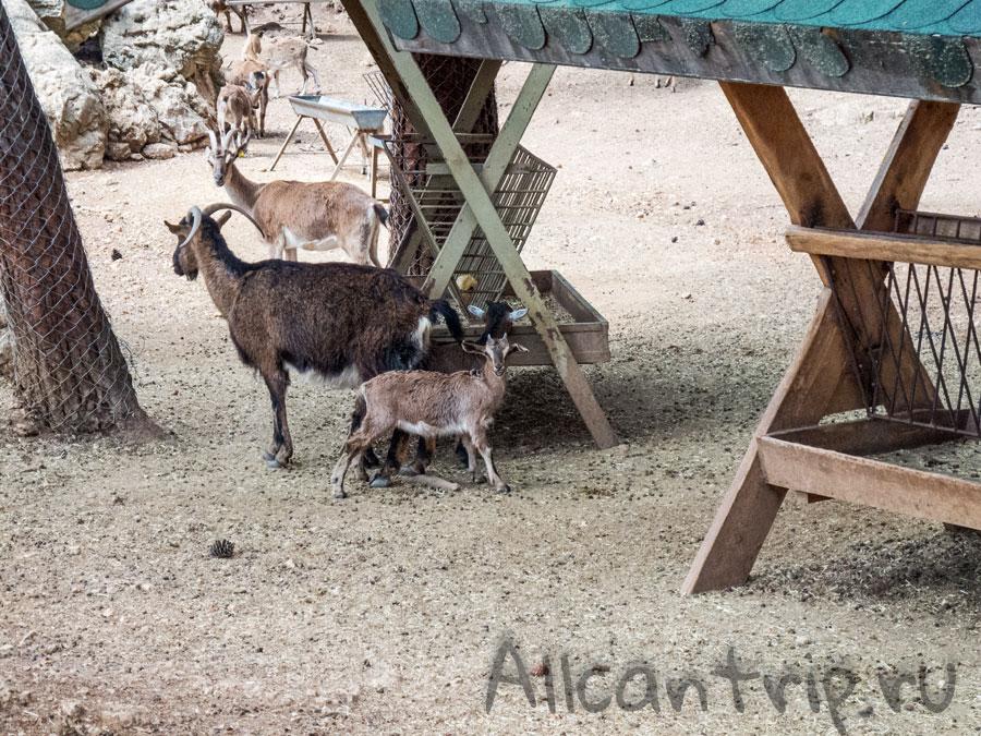 козел в зоопарке Анталии