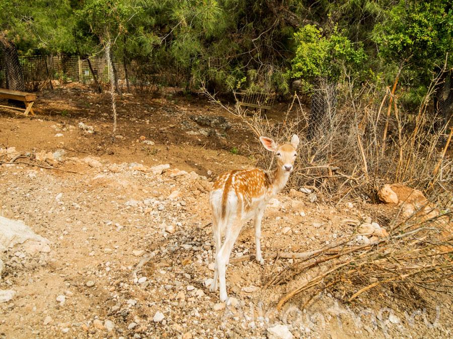 олененок в зоопарке Анталии