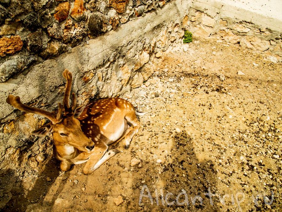 пятнистый олень в зоопарке Анталии