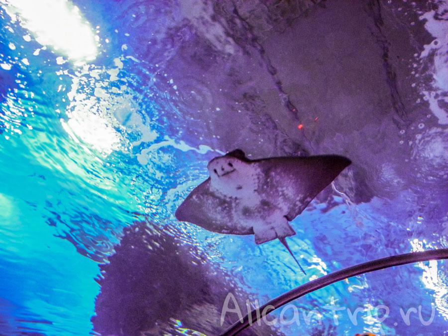 скат в туннельном аквариуме