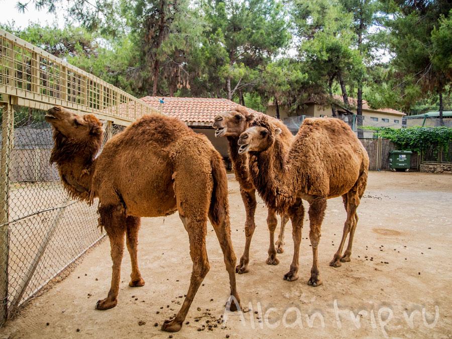 верблюды таблички указатели в зоопарке Анталии