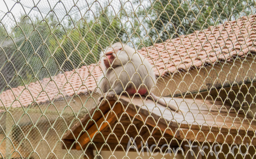 большая обезьяна бабуин в зоопарке Анталии