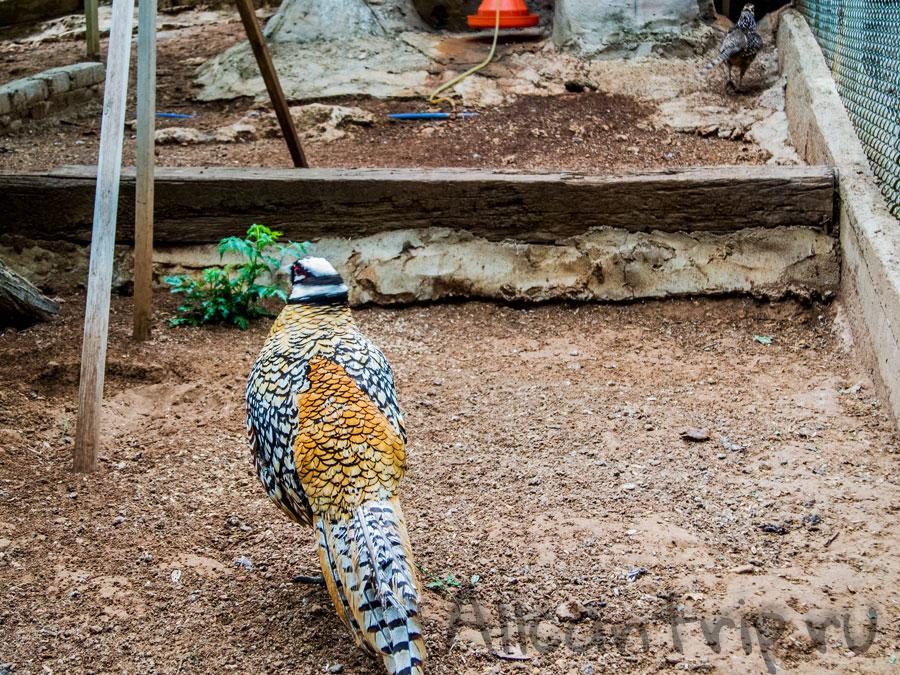 королевский фазан в зоопарке Анталии