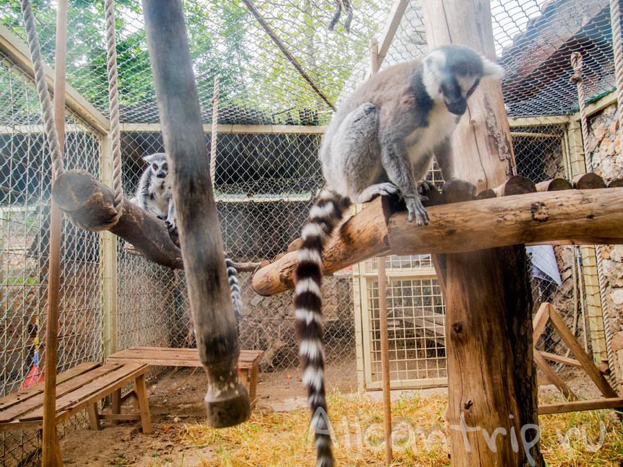 лемуры в зоопарке Анталии