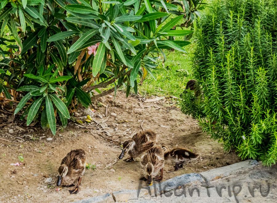утки в парке памуккале
