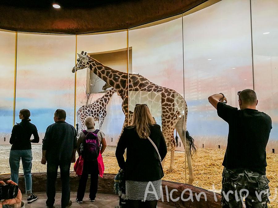 зоопарк праги жирафы